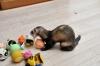 Frettchen mit Spielzeug