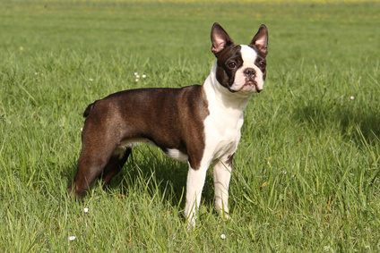 Boston Terrier Dogs For Sale Uk