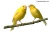 Kanarienvögel auf Zweig