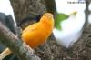 Kanarienvogel in den USA