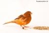 Weiblicher Kanarienvogel