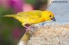 Gelber Kanarienvogel beim Fressen
