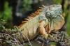 Grüner Leguan in Mexico