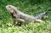 Grauer Leguan im Gras