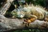 Leguan auf der Lauer auf Beute