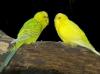 Gelbe Wellensittiche